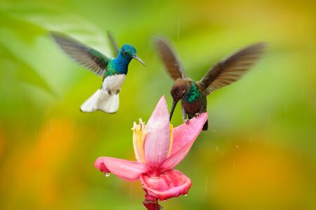 Two birds sucking nectar from pink flower. Flying blue and white hummingbird White-necked Jacobin, Florisuga mellivora, from Ecuador, clear green background. Bird with open wing.  Wildlife nature. Stock Photo