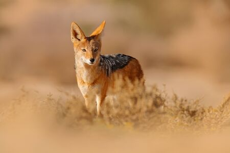 Jackal and evening sunlight. Black-Backed Jackal, Canis mesomelas mesomelas, portrait of animal with long ears, Kgalagadi, South Africa. Beautiful wildlife scene from Africa with nice sun light. Zdjęcie Seryjne