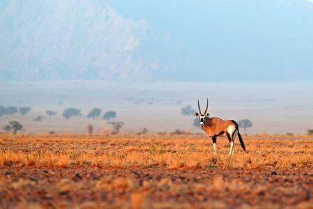 Oryx gazella beautiful iconic gemsbok antelope from Namib desert, Namibia. Oryx with orange sand dune evening sunset. Gemsbock large antelope in nature habitat, Sossusvlei, Namibia. Wild desert animals, straight antler horn. Reklamní fotografie
