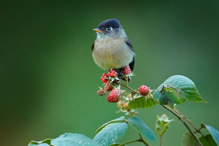 Black-capped flycatcher, Empidonax atriceps. Very small passerine bird in the tyrant flycatcher family, endemic to the highlands of Costa Rica. Small flycatcher sitting on red raspberry branch.