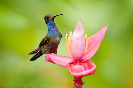 Bird sucking nectar from pink bloom. Hummingbird with flower. White-tailed Hillstar, Urochroa bougueri, on ping flower, gren and yellow background, Colombia.