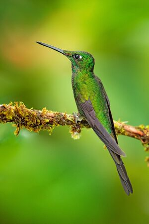 Empress Brilliant, Heliodoxa imperatrix, beautiful hummingbird in the nature habitat. Green bird with long tail from Ecuador.