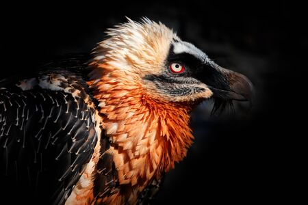 Bearded Vulture, Gypaetus barbatus, detail portrait of rare mountain bird in rocky habitat in Spain. Close-up portrait of beautiful mountain bird, Europe, sitting on the nest in stone rock. Stock Photo
