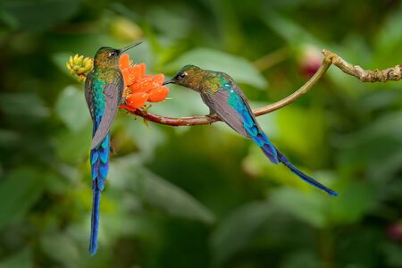 Long-tailed Sylph, Aglaiocercus kingi, rare hummingbird from Colombia, gree-blue bird flying next to beautiful orange flower, action feeding scene in tropical forest, animal in the nature habitat.