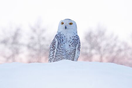 Snowy owl sitting on the snow in the habitat. Cold winter with white bird. Wildlife scene from nature, Manitoba, Canada. Owl on the white meadow, animal behaviour. Standard-Bild