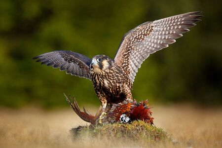 Peregrine falcon with caught kill Pheasant. Beautiful bird of prey feeding on killed big bird on the green mossy rock with dark forest in background. Bird carcass on forest meadow. Wildlife behaviour.
