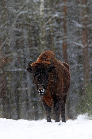 European bison in the winter forest, cold scene with big brown animal in the nature habitat, snow on the trees, Poland. Wildlife scene from nature. Big brown bizon cold witer with snow.