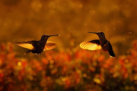 Sunset with hummingbirds in fly. Talamanca admirable hummingbird, Eugenes spectabilis, portrait of beautiful bird with evening light. Wildlife scene from nature.. Tapantí NP, Costa Rica. Wildlife.