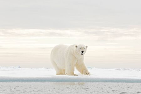 Polar bear dancing fight on the ice. Two bears love on drifting ice with snow, white animals in nature habitat, Svalbard, Norway. Animals playing in snow, Arctic wildlife. Funny image in nature. Standard-Bild