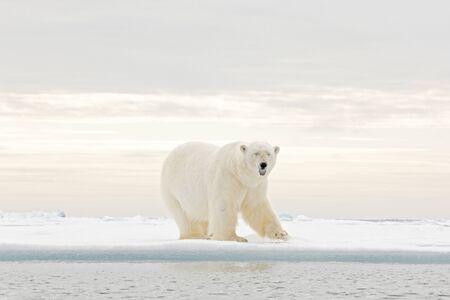 Oso polar bailando lucha en el hielo. Dos osos aman el hielo a la deriva con nieve, animales blancos en su hábitat natural, Svalbard, Noruega. Animales jugando en la nieve, fauna ártica. Imagen divertida en la naturaleza. Foto de archivo