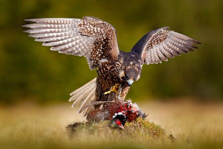 Peregrine falcon with caught kill Pheasant. Beautiful bird of prey feeding on killed big bird on the green mossy rock with dark forest in background. Bird carcas on the forest madow. Wildlife behaviour in nature.