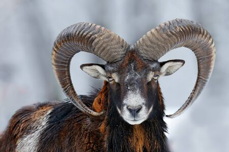 Mouflon, Ovis orientalis, horned animal in snow nature habitat. Close-up portrait of mammal with big horn, Czech Republic. Cold snowy tree vegetation, white nature. Snowy winter in forest. Stock Photo