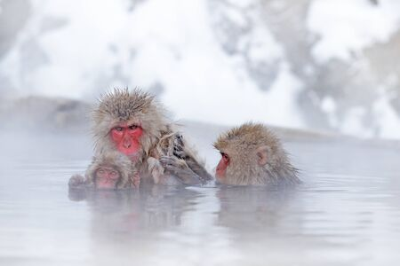 Monkey Japanese macaque, Macaca fuscata, jumping across the river, Japan. Snowy winter in Asia. Funny nature scene with monkey. Animal behaviour in cold winter. Stockfoto