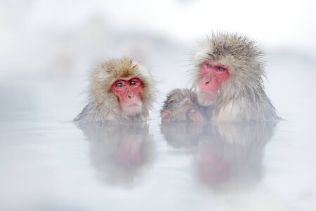 Family in the spa water Monkey Japanese macaque, Macaca fuscata, red face portrait in the cold water with fog, animal in the nature habitat, Hokkaido, Japan. Wide angle lens photo with nature habitat.