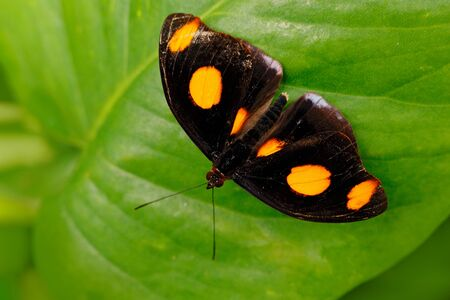 Beautiful butterfly from Costa Rica sitting on the green leaves. Undetermine black butterfly with orange spots on the wings. Stock Photo