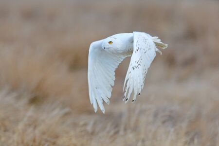 Snowy owl, Nyctea scandiaca, rare bird flying on the sky, forest meadow in the bacjground. winter action scene with open wings, Greenland. Wildlife scene from nature. Snowy owl in th Arctic.