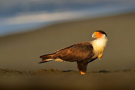 Caracara, sitting on the tree trunk, Corcovado NP, Costa Rica. Southern Caracara plancus, in green grass vegetation. Bird of prey from Brazil. Wildlife scene from nature, Central America. Sea beach.