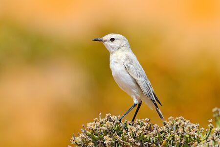 Dune Lark, Calendulauda erythrochlamys, lives in the sand dunes of the Namib Desert, completely endemic. White bird sitting on the desert vegetation, yellow dune in the background, Wildlife in Namibia Banque d'images