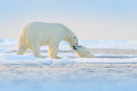 Polar bear swimming in water. Two bears playing on drifting ice with snow. White animals in the nature habitat, Alaska, Canada. Animals playing in snow, Arctic wildlife. Funny nature image. Reklamní fotografie