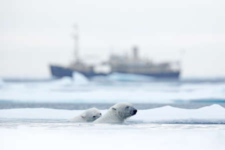 Bear and boat. Polar bear on drifting ice with snow, blurred cruise vessel in background, Svalbard, Norway. Wildlife scene in the nature. Cold winter with vessel. Arctic wild animals in snow and ship. Reklamní fotografie