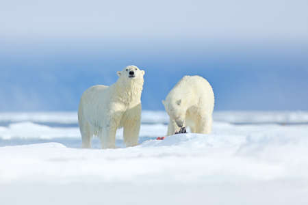 Polar bears with killed seal. Two white bear feeding on drift ice with snow, Svalbard, Norway. Bloody nature with big animals. Dangerous bear with kill carcass. Arctic wildlife, animal food behavior.