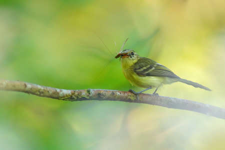 Yellow Tyrannulet, Capsiempis flaveola, catch the grasshopper locust insect in the bill, Bird behavior in the tropic forest, Corcovado NP, Costa Rica. Wildlife nature. Reklamní fotografie