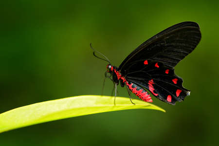 Antrophaneura semperi, in the nature green forest habitat, wildlife from Indonesia. Beautiful black and red poison butterfly, insect in tropical jungle. Reklamní fotografie