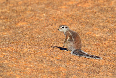 Cape ground squirrel, Xerus inauris, cute animal in the nature habitat, Spitzkoppe, Namibia in Africa. Squirrel sitting on the stone, sunny day in nature. Reklamní fotografie