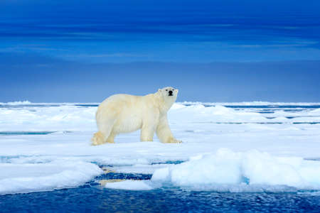 Polar bear on the ice. Two bears love on drifting ice with snow, white animals in nature habitat, Svalbard, Norway. Animals playing in snow, Arctic wildlife. Funny image in nature. Reklamní fotografie