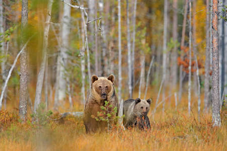 Bear hidden in yellow forest. Autumn trees with bear, mirror reflection. Beautiful brown bear walking around lake, fall colors.