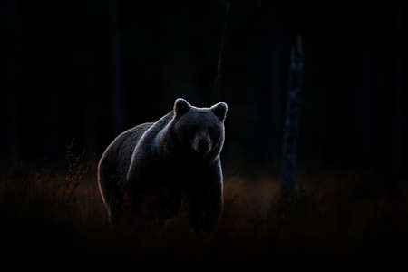 Art view on nature. Dark forest, brown bear hidden in habitat. Autumn trees with bear. Beautiful brown bear walking around lake, fall colors. Wildlife scene from nature. Reklamní fotografie