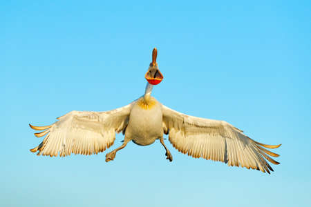 White pelican, Pelecanus onocrotalus, landing in Lake Kerkini, Greece. Pelican with open wings. Wildlife scene from European nature. Bird in the water. 스톡 콘텐츠