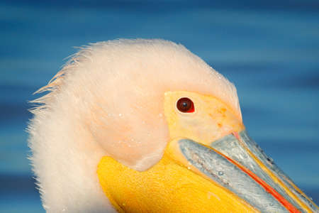White pelican detail portrait, Pelecanus onocrotalus, in Lake Kerkini, Greece. Pelican head close-up portrait. Wildlife scene from European nature. Bird in the water. 스톡 콘텐츠