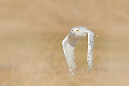Snowy owl, Nyctea scandiaca, rare bird flying above grass, forest meadow in the background. Winter action scene with open wings, Finaland. Wildlife scene from nature. Snowy owl in the Arctic. Stock fotó