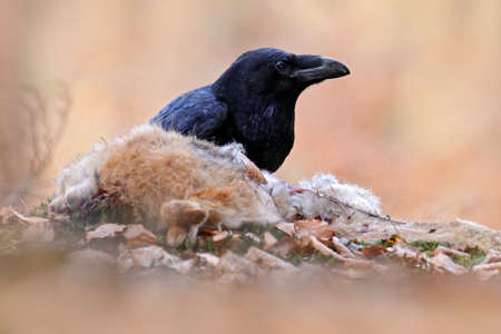 Raven with dead kill hare, sitting on the stone. Bird behavior in nature. Rocky habitat with black raven. Wildlife feeding behavior scene in the forest. Reklamní fotografie