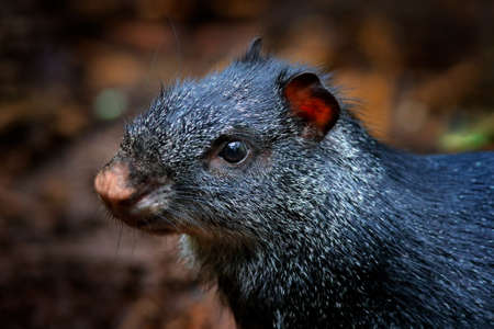 Detail head portrait of agouti. Black agouti, Dasyprocta fuliginosa, Baeza, Ecuador. Cute animal in the nature habitat, dark tropic forest. Wildlife in Ecuador.