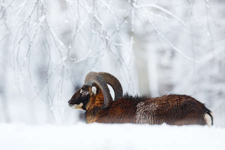 Mouflon, Ovis orientalis, horned animal in snow nature habitat. Close-up portrait of mammal with big horn, Czech Republic. Cold snowy tree vegetation, white nature. Snowy winter in forest.