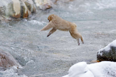 Monkey Japanese macaque, Macaca fuscata, jumping across the river, Hokkaido, Japan. Snowy winter in Asia. Funny nature scene with monkey.