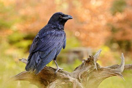 Raven, sitting on the tree trunk. Bird behavior in nature. Wildlife feeding behavior scene in the forest. Black shiny glossy bird. 스톡 콘텐츠