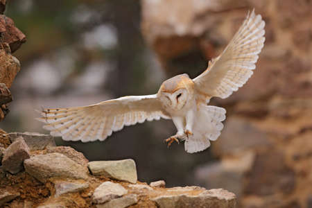 Owl, Tieto alba, with nice wings, landing on stone wall, light bird flying in the old castle, animal in the urban habitat. Wildlife scene from nature. Barn owl in old stone house.