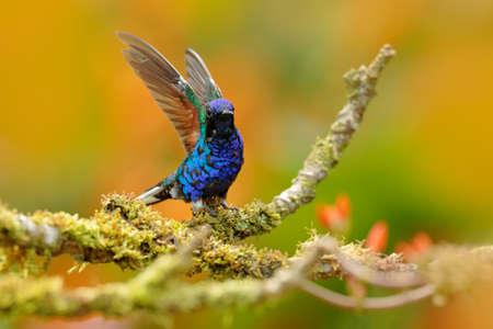 Beautiful glossy and glittering bird in the nature habitat, Ecuador. Velvet-purple Coronet, Boissonneaua jardini, dark blue and black hummingbird sitting on green lichen branch in the tropical forest.