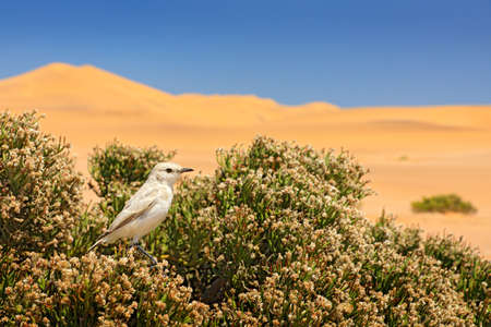 Dune Lark, Calendulauda erythrochlamys, lives in the sand dunes of the Namib Desert, completely endemic. White bird sitting on the desert vegetation, yellow dune in the background, Wildlife in Namibia Reklamní fotografie