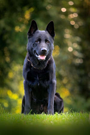 Black dog in green grass. German Shepherd Dog, is a breed of large-sized working dog that originated in Germany, sitting in the green grass with nature background.