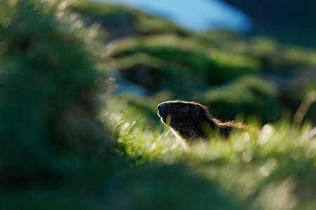 Cute fat animal Marmot, sitting in the grass with nature rock mountain habitat, Alp, Italy. Wildlife scene from wild nature. Funny image, detail of Marmot. Zdjęcie Seryjne