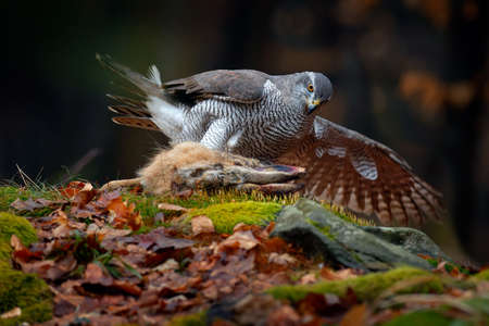 Animal behavior, wildlife scene from nature. Goshawk in the orange vegetation.Goshawk, Accipiter gentilis, feeding on killed hare in the forest. Bird of Prey with fur catch in the habitat, autumn forest.