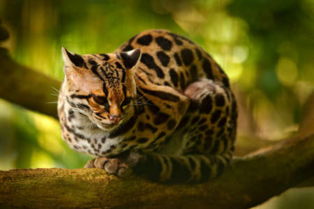 Wildlife in Costa Rica. Nice cat margay sitting on the branch in the costarican tropical forest. Detail portrait of ocelot, nice cat margay in tropical forest. Animal in the nature habitat. Фото со стока