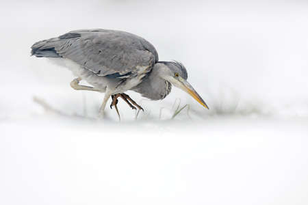 Gray Heron in white snow, wind during cold winter. Wildlife scene from Poland nature. Snow storm with bird. Heron with snow in the nature habitat. Reklamní fotografie