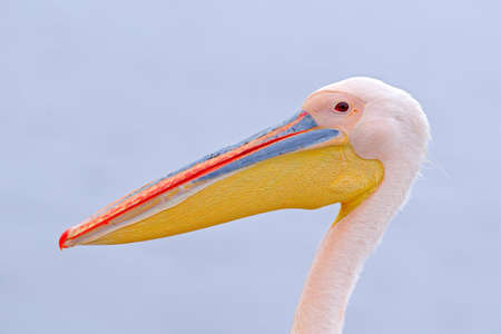 Detail bill portrait of pelican, Walvis bay, Namibia, Africa. Bird on the sea. 스톡 콘텐츠