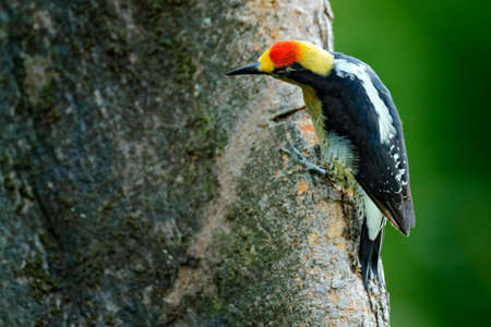 Golden-naped woodpecker, Melanerpes chrysauchen, sitting on tree trink with nesting hole, black and red bird in nature habitat, Corcovado, Costa Rica. Birdwatching, South America. Bird in the green.