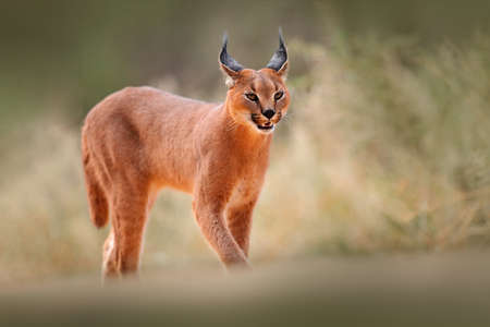 Caracal, African lynx, in dry sand desert. Beautiful wild cat in nature habitat, Kgalagadi, Botswana, South Africa. Animal face to face walking on gravel, Felis caracal. Wildlife scene from nature.